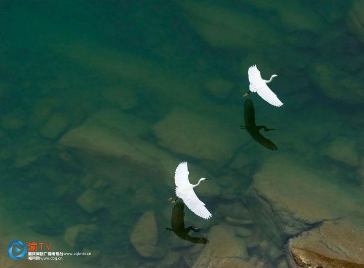 春日乌江美景图片:白鹭翩跹而舞